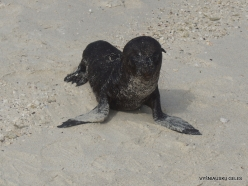 Genovesa Isl. Darwin Bay. (8) Galápagos sea lion (Zalophus wollebaeki)
