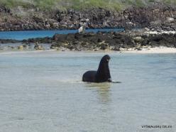 Genovesa Isl. Darwin Bay. (9) Galápagos sea lion (Zalophus wollebaeki)