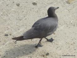 Genovesa Isl. Darwin Bay. Lava gull (Leucophaeus fuliginosus)