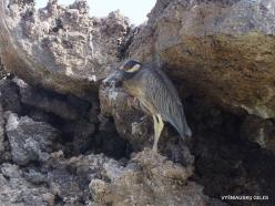Genovesa Isl. Darwin Bay. Lava heron (Butorides sundevalli) (3)