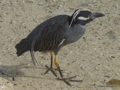 Genovesa Isl. Darwin Bay. Lava heron (Butorides sundevalli)