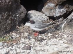 Genovesa Isl. Darwin Bay. Swallow-tailed gull (Creagrus furcatus) (2)