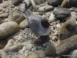 Genovesa Isl. Darwin Bay. Swallow-tailed gull (Creagrus furcatus) (4)