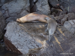 Genovesa Isl. El Barranco. Galápagos sea lion (Zalophus wollebaeki)