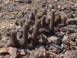 Genovesa Isl. El Barranco. Lava cactus (Brachycereus nesioticus) (2)