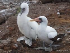 Genovesa Isl. El Barranco. Nazca booby (Sula granti) (19)