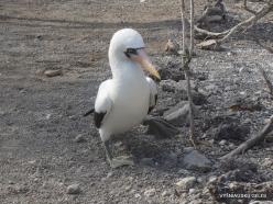 Genovesa Isl. El Barranco. Nazca booby (Sula granti) (6)