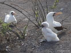 Genovesa Isl. El Barranco. Nazca booby (Sula granti) (8)