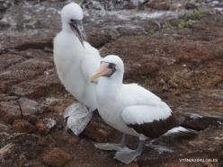 Genovesa Isl. El Barranco. Nazca booby (Sula granti) (9)