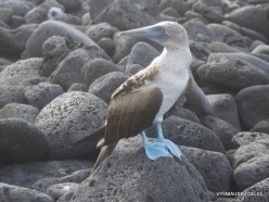Lobos Isl. Blue-footed booby (Sula nebouxii excisa)