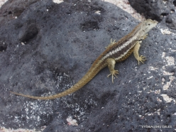 Lobos Isl. Galápagos lava lizard (Microlophus albemarlensis) (2)