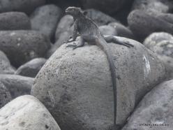 Lobos Isl. Galápagos marine iguana (Amblyrhynchus cristatus mertensi)