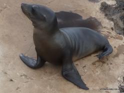 Lobos Isl. Galápagos sea lion (Zalophus wollebaeki) (2)