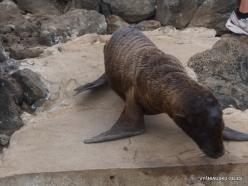 Lobos Isl. Galápagos sea lion (Zalophus wollebaeki) (3)