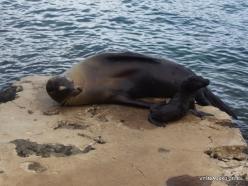 Lobos Isl. Galápagos sea lion (Zalophus wollebaeki)