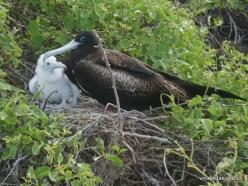 Lobos Isl. Magnificent frigatebird (Fregata magnificens) (3)
