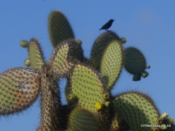 South Plaza Isl. Common cactus finch (Geospiza scandens)