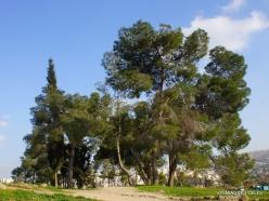 Jerash. Aleppo pine (Pinus halepensis)
