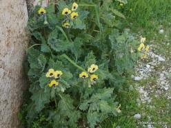 Jerash. Golden Henbane (Hyoscyamus aureus)