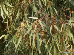 Jerash. Eucalyptus sp.