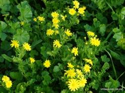 Jerash. Spring Groundsel (Senecio vernalis)