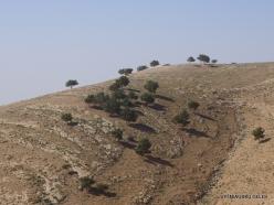 Mount Nebo. Aleppo pine (Pinus halepensis)