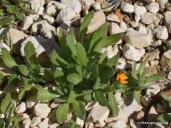 Mount Nebo. Field marigold (Calendula arvensis)