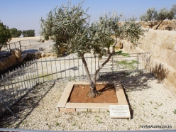 Mount Nebo. Olive tree planted by Pope John Paul II