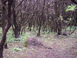 La Gomera. Garajonay National Park. Laurel forest (Laurus novocanariensis)