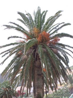 La Gomera. Near Hermigua. Canary Island date palm (Phoenix canariensis)