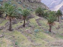 La Gomera. Near Hermigua. Canary Island date palms (Phoenix canariensis)