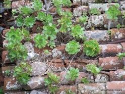 La Gomera. Near Hermigua. Houseleek (Aeonium sp.)