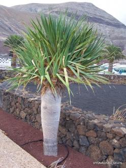 Lanzarote. Dragon Tree (Dracaena draco)