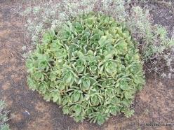 Lanzarote. Aeonium sp.