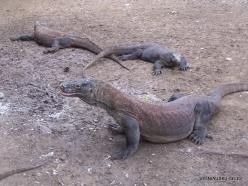 1 Komodo National Park. Rinca island. Komodo dragons (Varanus komodoensis) (2)