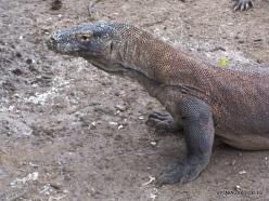 1 Komodo National Park. Rinca island. Komodo dragons (Varanus komodoensis) (3)