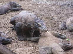 1 Komodo National Park. Rinca island. Komodo dragons (Varanus komodoensis) (6)