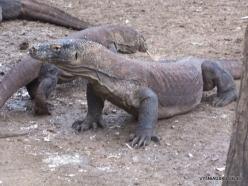 1 Komodo National Park. Rinca island. Komodo dragons (Varanus komodoensis)