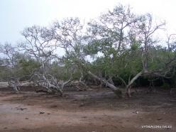 1 Komodo National Park. Rinca island. Mangroves (2)