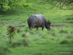1 Komodo National Park. Rinca island. Water buffalo (Bubalus bubalis)