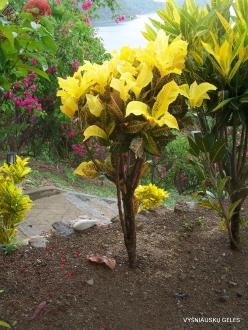 Flores. Croton (Codiaeum sp.) collection (2)