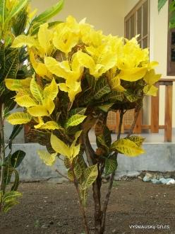 Croton (Codiaeum sp.) collection (5)