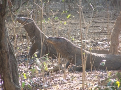 Komodo National Park. Komodo island. Komodo dragons (Varanus komodoensis) (4)