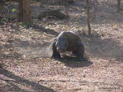 Komodo National Park. Komodo island. Komodo dragons (Varanus komodoensis) (5)