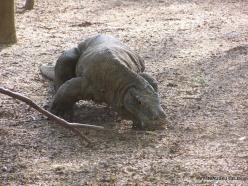 Komodo National Park. Komodo island. Komodo dragons (Varanus komodoensis) (6)