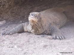 Komodo National Park. Komodo island. Komodo dragons (Varanus komodoensis) (9)