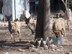 Komodo National Park. Komodo island. Timor rusa deer (Cervus timorensis) (2)