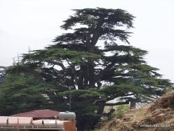 1. Arz ar-Rabb (Cedars of God) reserve. Old Cedar of Lebanon (Cedrus libani)