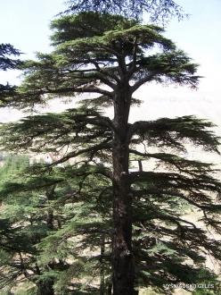 2. Arz ar-Rabb (Cedars of God) reserve (10) Old Cedar of Lebanon (Cedrus libani)