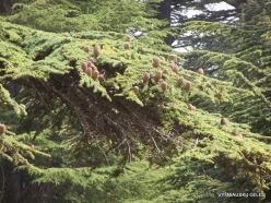 2. Arz ar-Rabb (Cedars of God) reserve. Cedar of Lebanon (Cedrus libani) cones